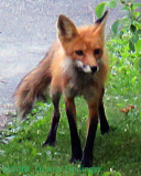 Mummy Fox looking for some mice