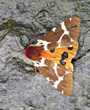 Great tiger moth