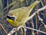Common Yellow Throat Male