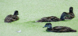 Four Male Immature Woodducks in Duckweed
