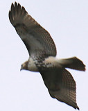 Redtailed immature Hawk