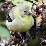 American Goldfinch fall plumage?
