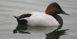 Canvasback Male  5years ago...