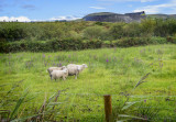Sheep Ring of Kerry