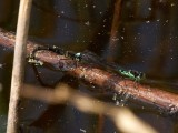 Flicksländor - Zygoptera - Damselflies