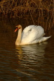 Unusual  colours for  a  swan.