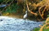 An  egret , sometimes  referred  to  as  a  white  heron , setting  up  shop.