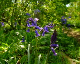 English  bluebells  in  the  woodland  verge