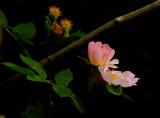 Dog  rose , rosa  canina