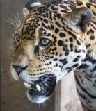 Jaguar 9214