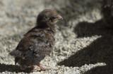 Chick 9085