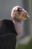 California Condor 9281