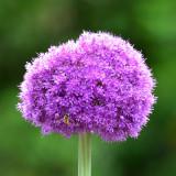 Allium 6837 R.jpg