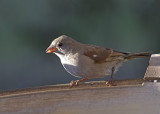 Old World Sparrows (Passeridae)