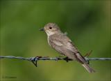 Spotted Flycatcher - Grauwe - Vliegenvanger