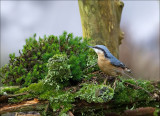Nuthatch - Boomklever