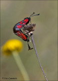 Six-spot Burnet - St. Jansvlinder - Zygaena filipendulae