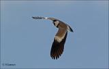 Spur-winged Lapwing - Sporenkievit -  Vanellus spinosus