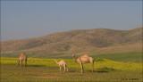 Dromedary - Dromedaris - Camelus dromedarius