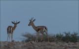 Dorcas gazelle - Gazella Dorcas