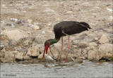 Black Stork - Zwarte Ooievaar - Ciconia nigra