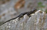 Roughtail Rock Agama - Hardoen - Stellagama stellio