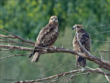 Black Kite - Zwarte Wouw - Milvus migrans