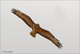 Birds of prey  - Roofvogels