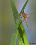 Scarce Chaser - Bruine korenbout - Libellula fulva