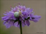 Crab Spider - Gewone kameleonspin - Misumena vatia