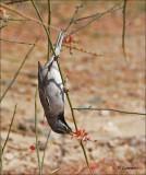 Rüppell's Warbler  Rüppels grasmus - Sylvia ruppeli