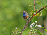 bluethroat_blauwborst