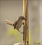 Graceful Prinia - Gestreepte Prinia - Prinia gracilis
