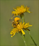 Hairy Legged Mining Bee - Pluimvoetbij - Dasypoda hirtipes