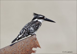 Pied Kingfisher - Bonte Ijsvogel - Ceryle rudis