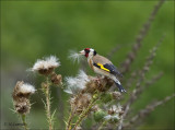 European Goldfinch - Putter - Carduelis carduelis