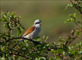 Red-backed Shrike - Grauwe Klauwier - Lanius collurio