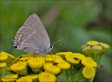 Blue-spot Hairstreak - Wegedoornpage - Satyrium spini