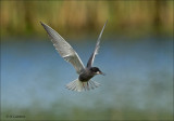 Black Tern - Zwarte Stern - Chlidonias niger