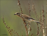 Red-backed Shrike ( female)  - Grauwe Klauwier - Lanius collurio