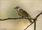 Common Whitethroat - Grasmus - Sylvia communis