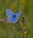 Common Blue - Icarusblauwtje - Polyommatus icarus