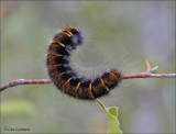 Fox Moth - Veelvraat - Macrothylacia rubi