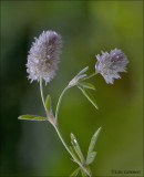 Hare's Foot-clover - Hazenpootje - Trifolium arvense