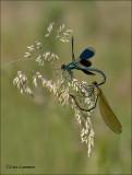 Banded demoiselle - Weidebeekjuffer - Calopteryx splendens