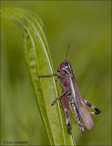 Large Marsh Grasshopper - Moerassprinkhaan - Stethophyma grossum