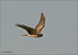 Pallid Harrier - Steppenkiekendief - Circus macrourus
