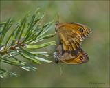 Gatekeeper - Oranje zandoogje - Pyronia tithonus