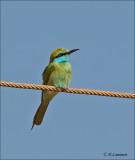 Green bee-eater - Kleine Groene Bijeneter - Merops orientalis