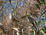 Bearded Reedling - Baardman - Panurus biarmicus